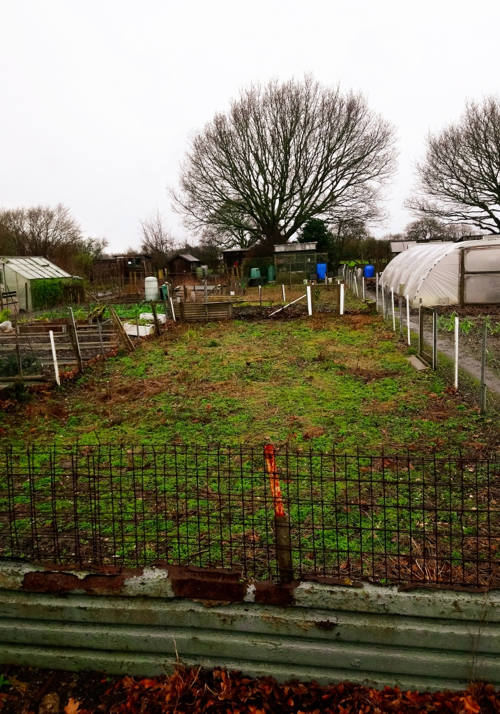 An image of an overgrown and very weed-covered allotment plot. There is a greenhouse at the back and a collection of waterbutts.