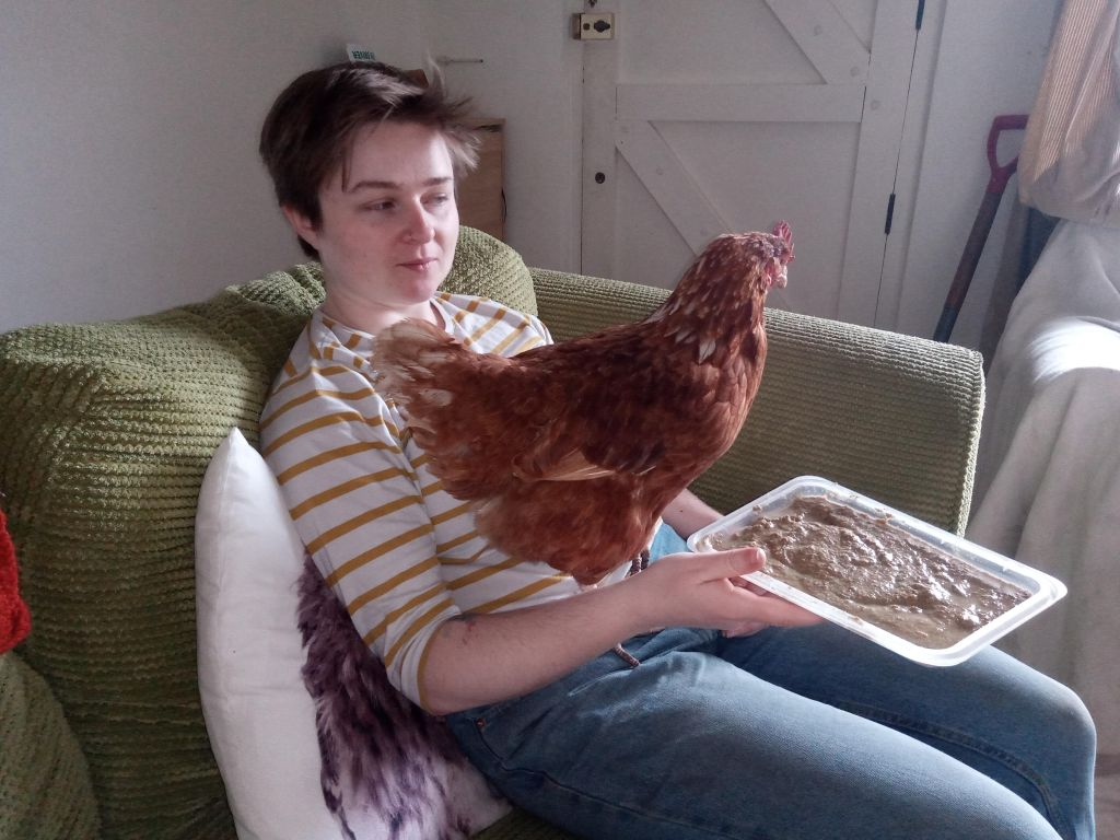 A chicken sitting on a woman's lap on a sofa. The woman is holding a tray of chicken feed