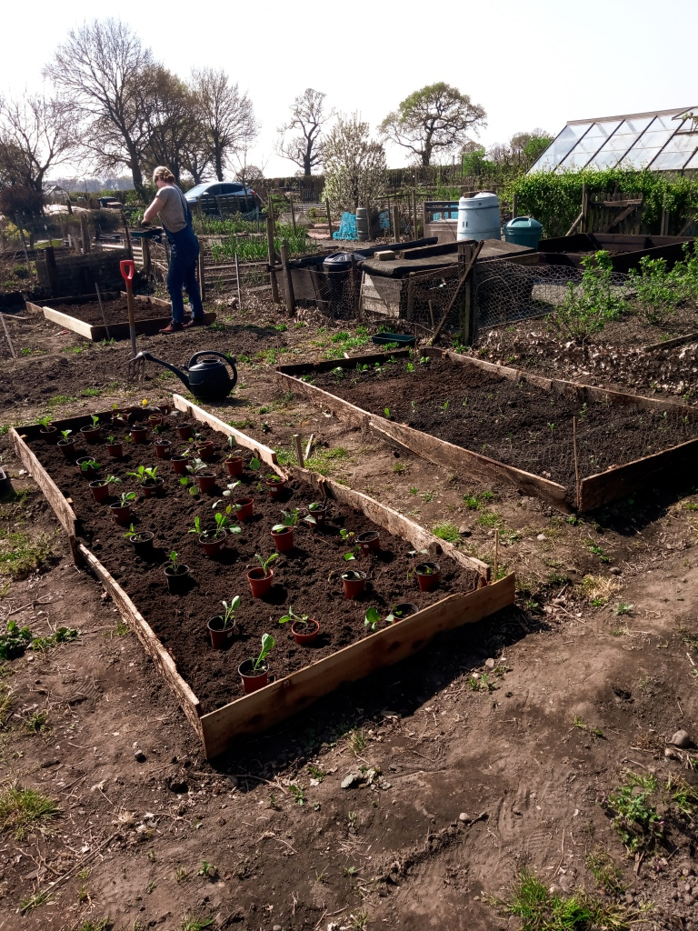 There are three raised beds in the image, each with seedlings planted in rows. A woman is standing in the background looking away from the camera at another bed she's in the middle of digging.