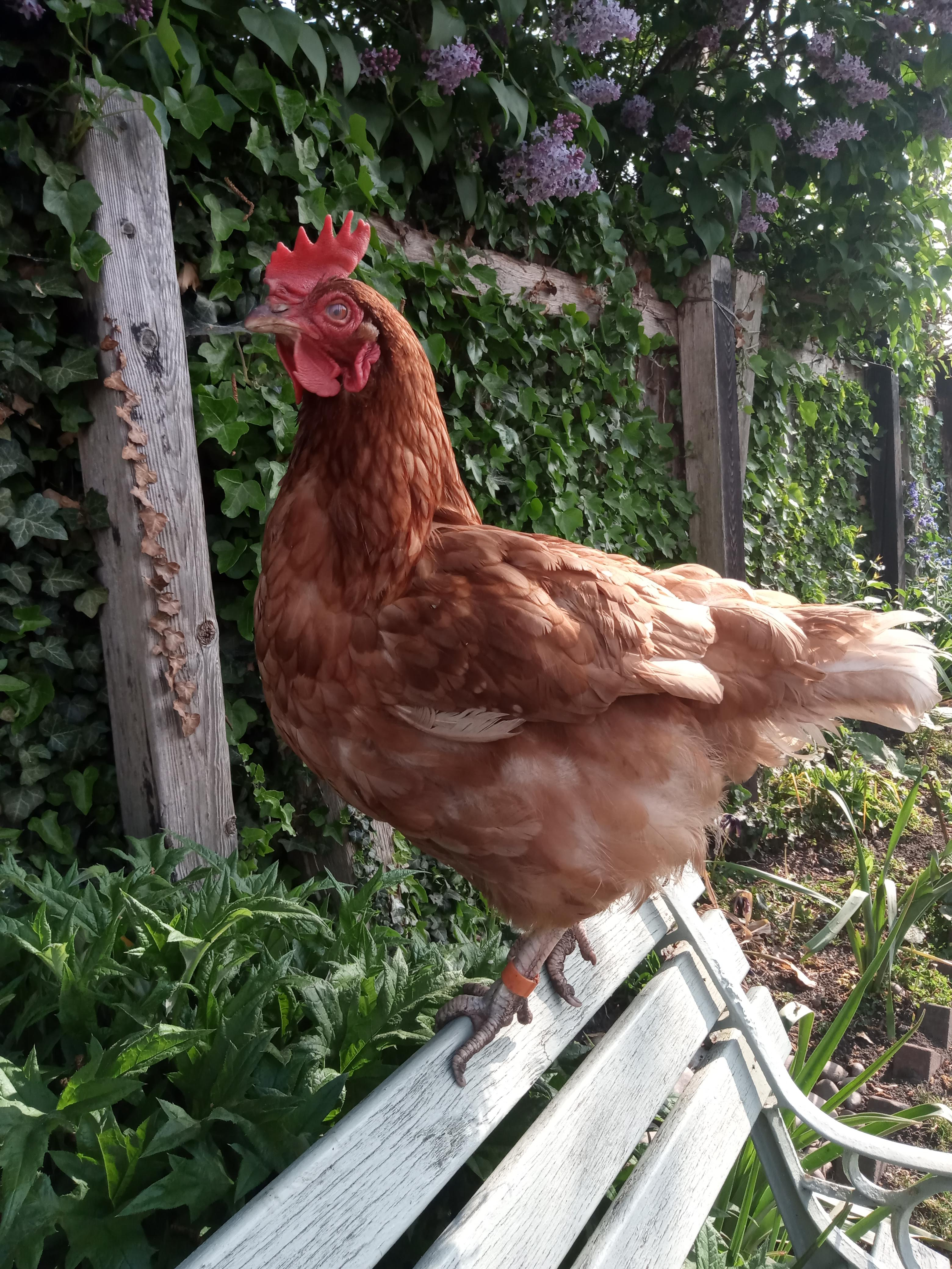 A chicken who is missing some of her feathers is perched on the back of a bench.