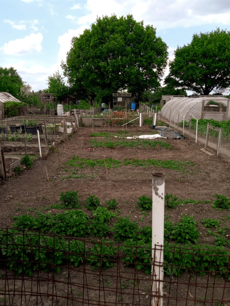 This is a shot from the same angle as the previous one, but it's a sunny day and there are leaves on trees. The plot has been dug over and divided into various beds. At the front of the photo are rows of potatoes, and towards the back are pyramids of beanpoles for beans and legumes to grow up.